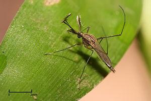 Culex sp. Mosquito