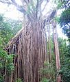 Curtain fig tree.jpg