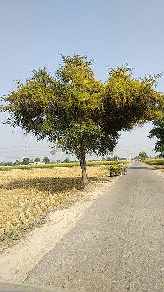 Cuscuta - Cuscuta on Ziziphus mauritiana Tree in Punjab, India