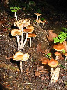 Psilocybe cyanescens - Wikipedia