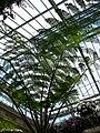 Cyanthea cooperi 1.jpg