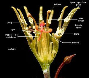 Cyathium - Euphorbia tridentata, cross-section of a cyathium.