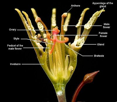 Euphorbia tridentata, cross-section of a cyathium.