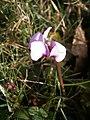 Cyclamen coum flower RHu.jpg