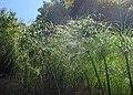 Cyperus papyrus kz06.jpg
