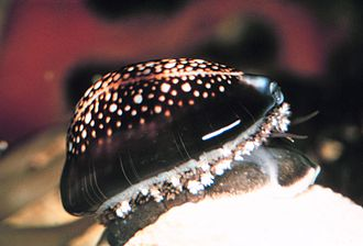 Cowry - Cowries are generally seen on rocky areas of the sea bed.