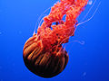 "DSC26399, Black Sea Nettle (""Chrysaora Achlyos""), Monterey Bay Aquarium, Monterey, California, USA (5513375649).jpg"
