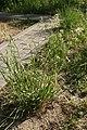 Dactylis glomerata in Minsk.jpg