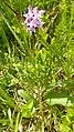 Dactylorhiza fuchsii 43.jpg