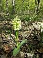 Dactylorhiza sambucina sl54.jpg