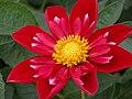 """Dahlia, """"Mars"""" cultivar.jpg"""