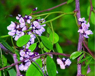 Dalbergia - Flowers of D. lanceolaria