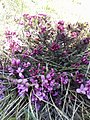 Daphne cneorum (Thymelaeaceae) 07.jpg