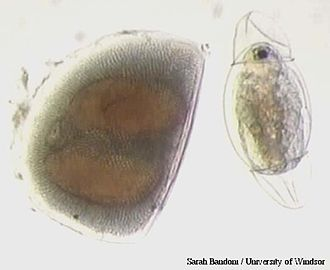 Ephippia - Resting egg pouch (ephippium) and the juvenile daphnid that just hatched from it