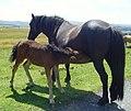 Dartmoor Ponies - geograph.org.uk - 1044847.jpg