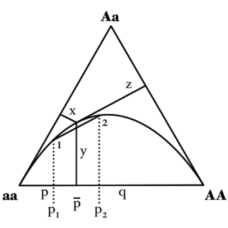Hardy–Weinberg principle - A de Finetti diagram representing a distribution of genotype frequencies