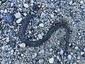 Dead snake tuscany.jpg