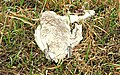 Dead swan near Ballyskeagh - geograph.org.uk - 1181427.jpg