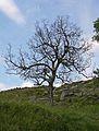 Dead tree at Bronte Bridge (3659758921).jpg