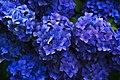 Deep blue hydrangea (Unsplash).jpg