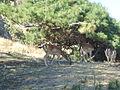 Deers in Myrina castle, Lemnos island, Greece.jpg