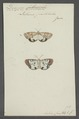 Deiopeia - Print - Iconographia Zoologica - Special Collections University of Amsterdam - UBAINV0274 055 04 0006.tif