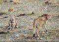 Delbar w Kooshki (Iranian Cheetahs) 02.jpg