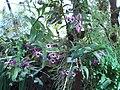 Dendrobium nobile (BG Zurich)-04.JPG