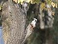Dendrocopos syriacus - Syrian Woodpecker, Adana 2017-12-10 03-2.jpg