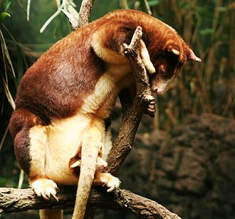 Matschie's tree-kangaroo with young in pouch Dendrolagus matschiei 1.jpg