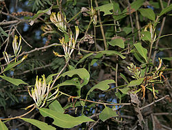 Dendrophthoe falcata in Hyderabad, AP W IMG 0454.jpg