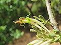 Dendrophthoe falcata var. falcata - Honey Suckle Mistletoe at Blathur 2017 (13).jpg