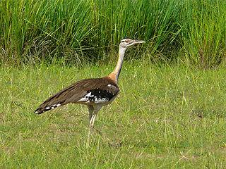 Denhams bustard Species of bird