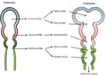 Desarrollo temprano del cerebro humano.png