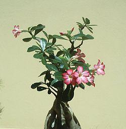 Rosa Do Deserto Wikipédia A Enciclopédia Livre