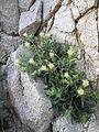 Desert rock nettle (Eucnide urens); Cleghorn Wilderness - 12525823683.jpg
