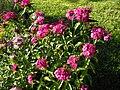 Dianthus barbatus 7.JPG