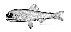 Dessin d'un poisson-lanterne Diaphus rafinesquii, l'une des 246 espèces connues de poissons-lanternes. Compte-tenu de leur milieu de vie, il est très difficile de les prendre en photo. Les points blancs le long de son corps sont des organes lumineux.