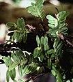 Dichaea picta - pl 3.jpg