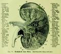 Die Frau als Hausärztin (1911) 017 Durchschnitt einer Niere.png