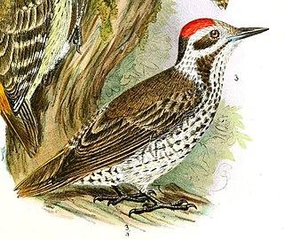 Stierlings woodpecker species of bird