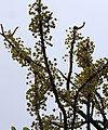 Dillenia pentagyna flowering by Dr. Raju Kasambe DSCN1362 (32).jpg