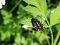 Dinoptera collaris1.jpg