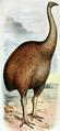 Dinornis novaezealandiae.png