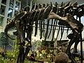 Diplodocus at CMNH.jpg