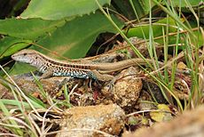 DirkvdM lizard on the rocks cutted.jpg