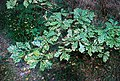 Diseased oak - geograph.org.uk - 552185.jpg