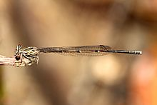 Disparonura apicalis-female.jpg
