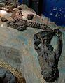 Displayed Rhomaleosaurus skeleton YORYM G503.JPG
