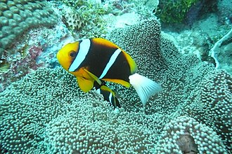 Amphiprion akindynos - Image: Diving at Siaes Tunnel, Palau